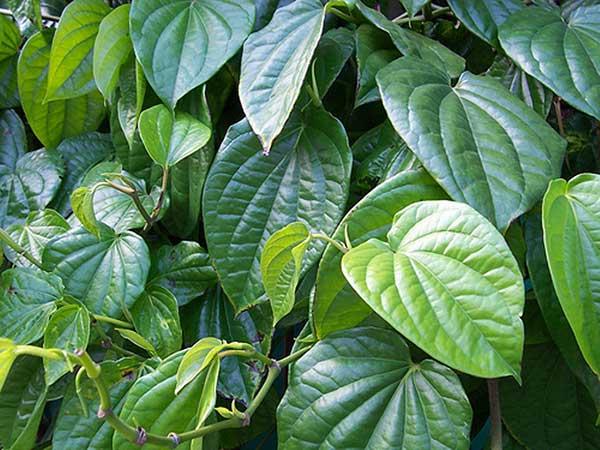Hỗn hợp lá trầu không với nước dừa giúp làm giảm các cơn đau