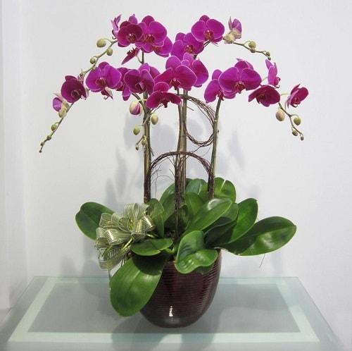 Vẻ đẹp ngây ngất của hoa lan hồ điệp