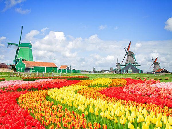 Hoa Tulip mang ý nghĩa thay đổi theo màu sắc