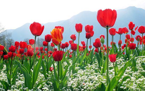 Hoa tulip màu đỏ tươi