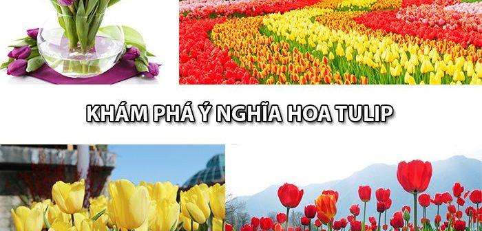 Khám phá ý nghĩa hoa Tulip