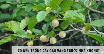 Có nên trồng cây gáo vàng trước nhà không?