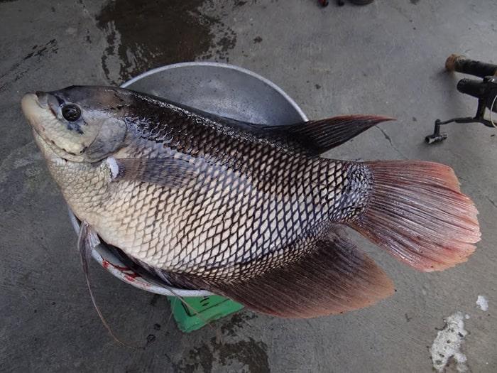 Nên chọn cá rô phi tự nhiên để loại trừ nguy cơ ngộ độc