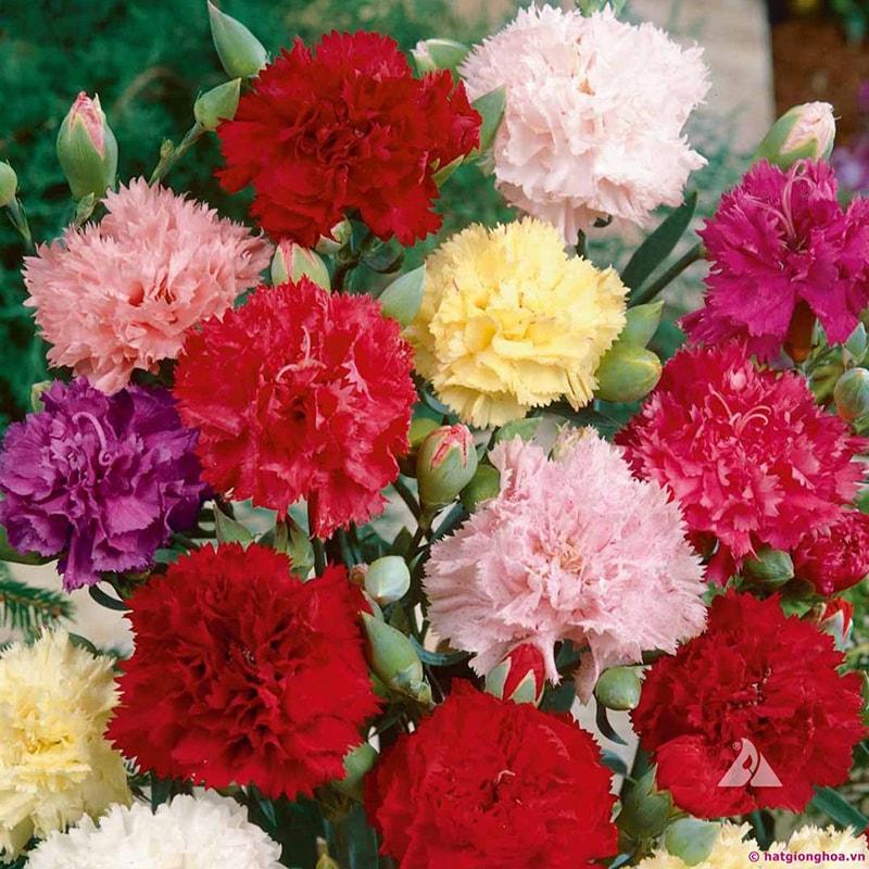 Tặng hoa cẩm chướng vào ngày mừng thọ ông bà
