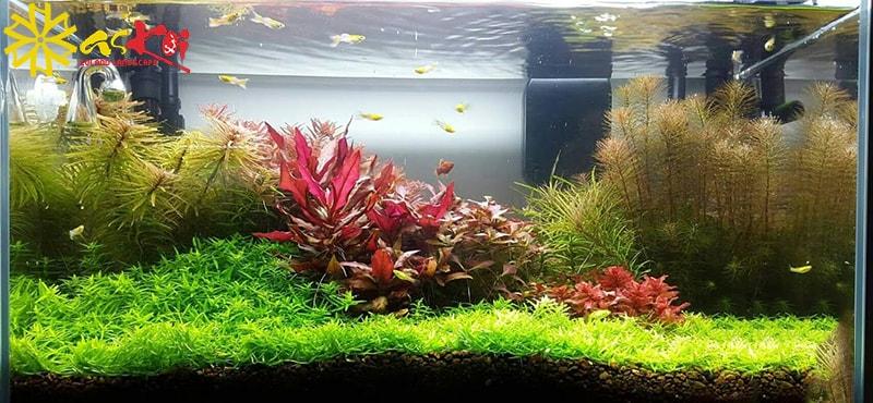 Kết hợp nhiều loại cây thủy sinh trong bể